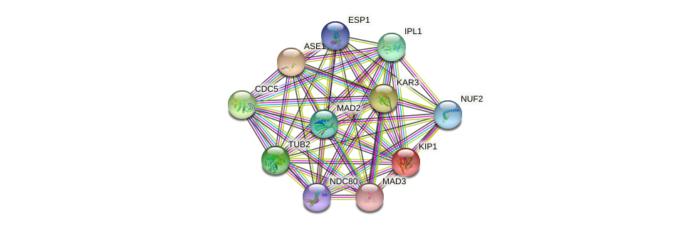 KIP1 protein (Saccharomyces cerevisiae) - STRING interaction network