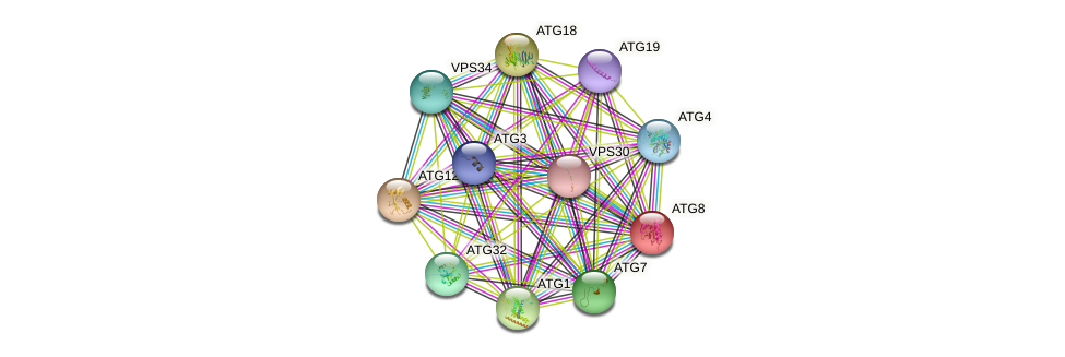 ATG8 protein (Saccharomyces cerevisiae) - STRING interaction network
