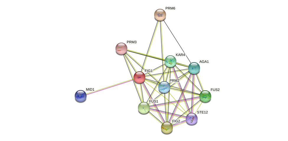 FIG1 protein (Saccharomyces cerevisiae) - STRING interaction network