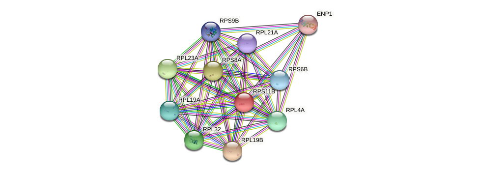 RPS11B protein (Saccharomyces cerevisiae) - STRING interaction network