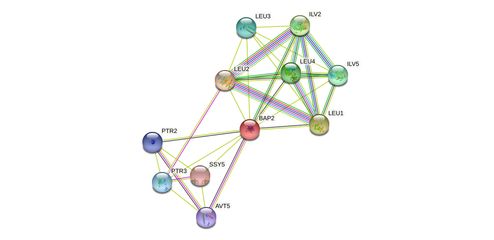 BAP2 protein (Saccharomyces cerevisiae) - STRING interaction network