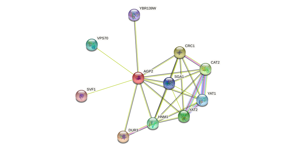 AGP2 protein (Saccharomyces cerevisiae) - STRING interaction network