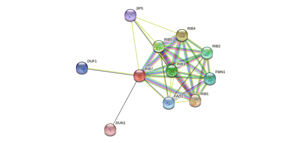 RIB7 protein (Saccharomyces cerevisiae) - STRING interaction network