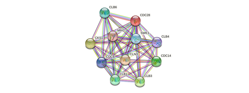 CDC28 protein (Saccharomyces cerevisiae) - STRING interaction network