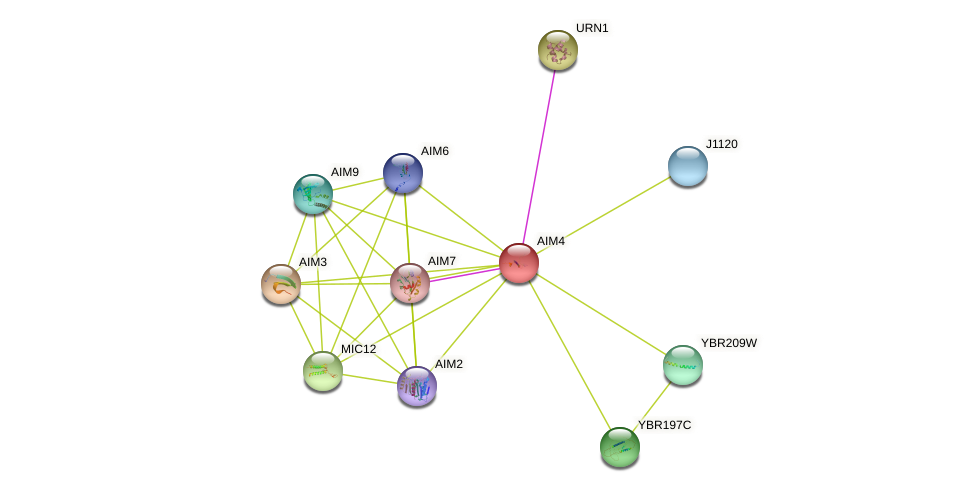AIM4 protein (Saccharomyces cerevisiae) - STRING interaction network