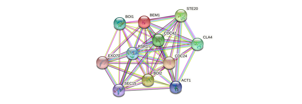 BEM1 protein (Saccharomyces cerevisiae) - STRING interaction network
