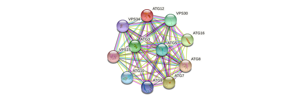 ATG12 protein (Saccharomyces cerevisiae) - STRING interaction network