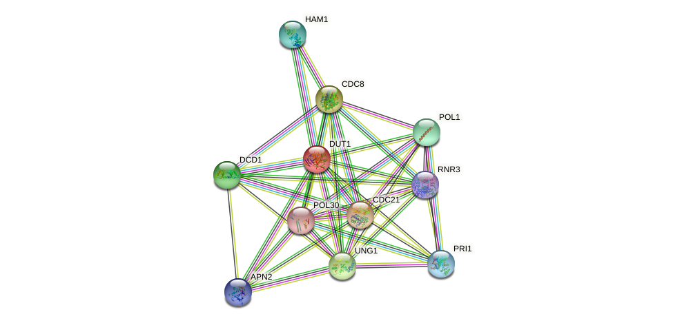 DUT1 protein (Saccharomyces cerevisiae) - STRING interaction network