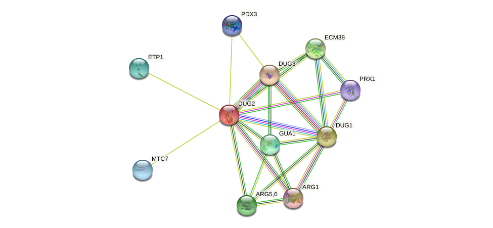 DUG2 protein (Saccharomyces cerevisiae) - STRING interaction network
