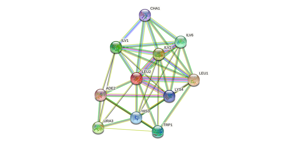 LEU2 protein (Saccharomyces cerevisiae) - STRING interaction network