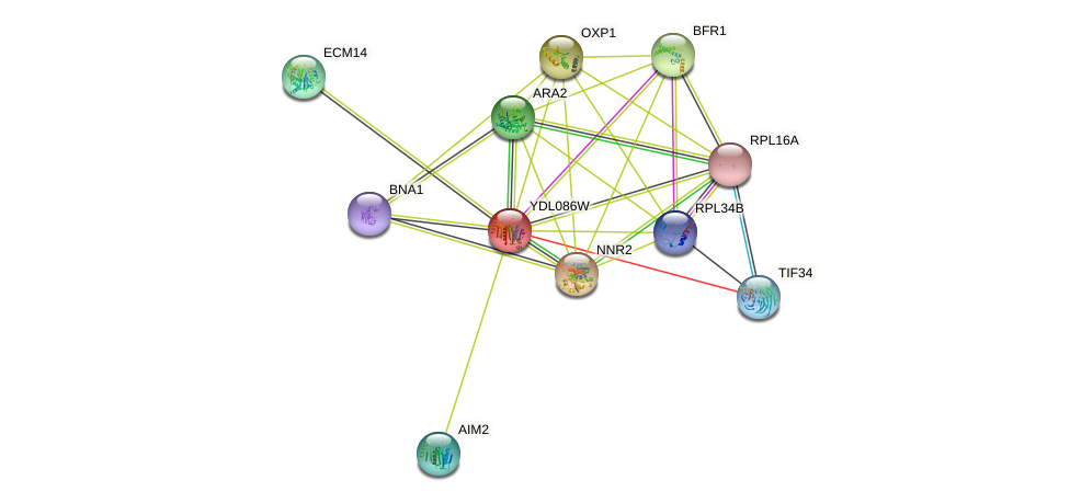 YDL086W protein (Saccharomyces cerevisiae) - STRING interaction network
