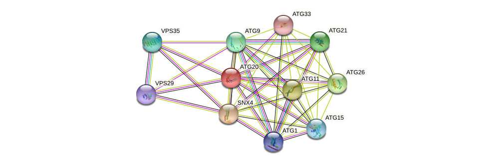 ATG20 protein (Saccharomyces cerevisiae) - STRING interaction network