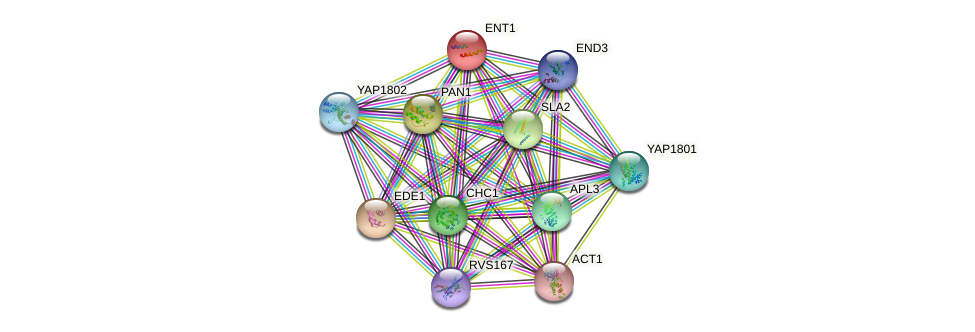 ENT1 protein (Saccharomyces cerevisiae) - STRING interaction network