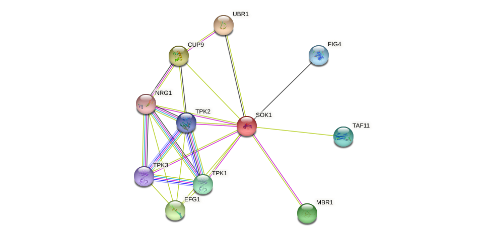 SOK1 protein (Saccharomyces cerevisiae) - STRING interaction network