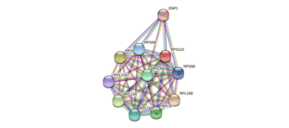 RPS11A protein (Saccharomyces cerevisiae) - STRING interaction network