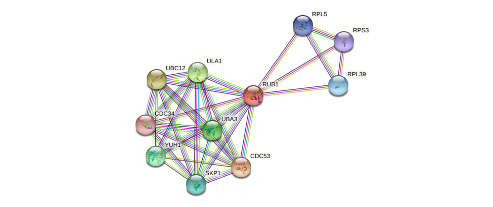 RUB1 protein (Saccharomyces cerevisiae) - STRING interaction network
