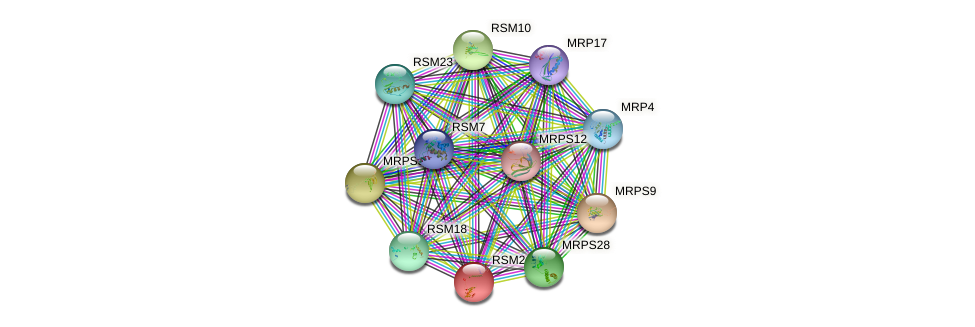 RSM24 protein (Saccharomyces cerevisiae) - STRING interaction network