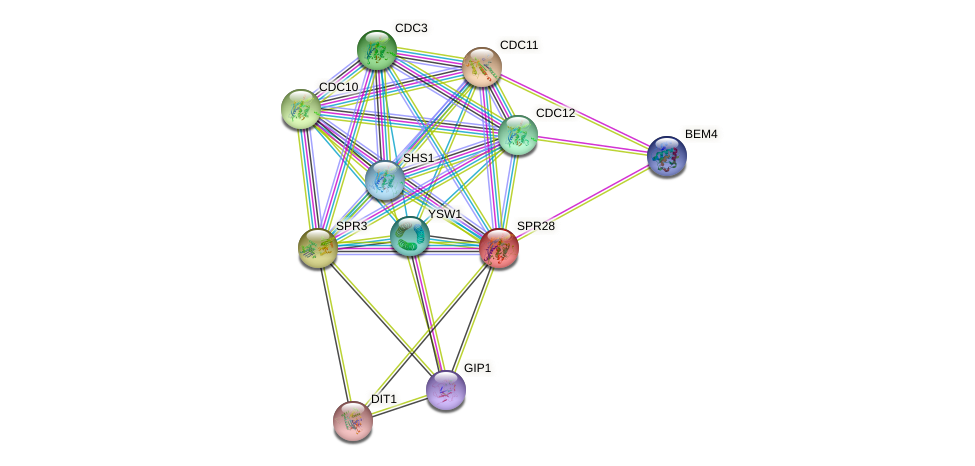 SPR28 protein (Saccharomyces cerevisiae) - STRING interaction network