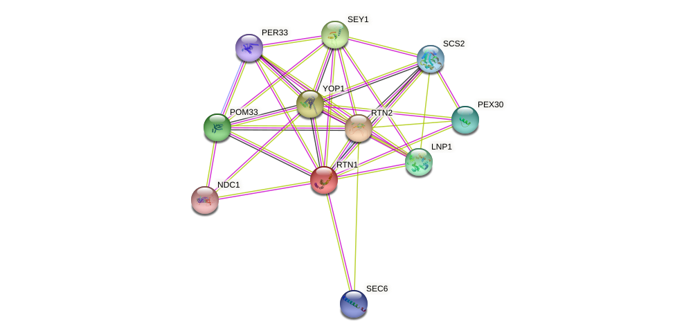 RTN1 protein (Saccharomyces cerevisiae) - STRING interaction network