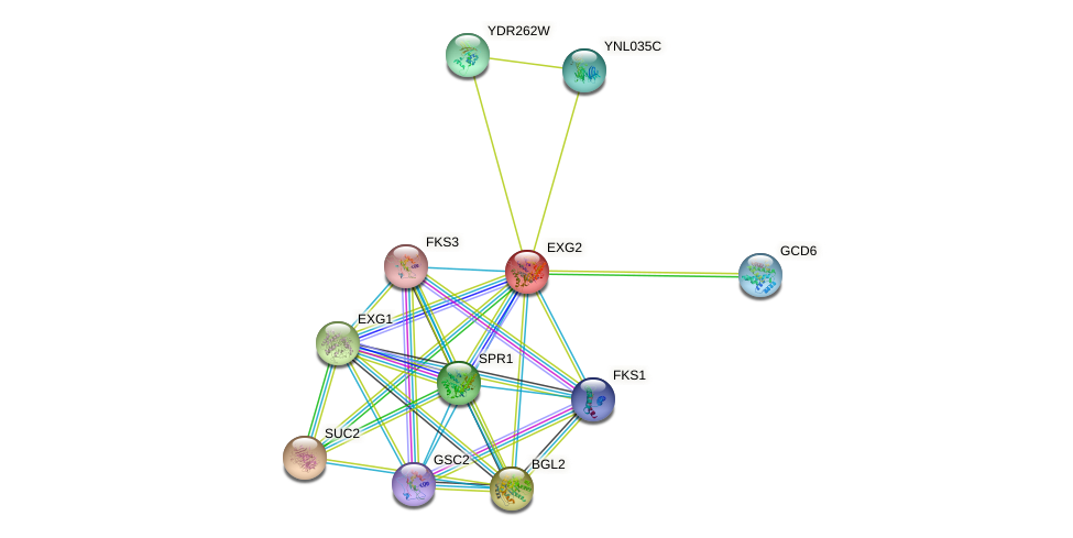 EXG2 protein (Saccharomyces cerevisiae) - STRING interaction network