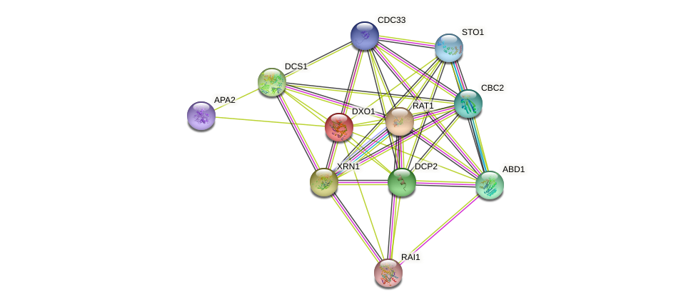 DXO1 protein (Saccharomyces cerevisiae) - STRING interaction network