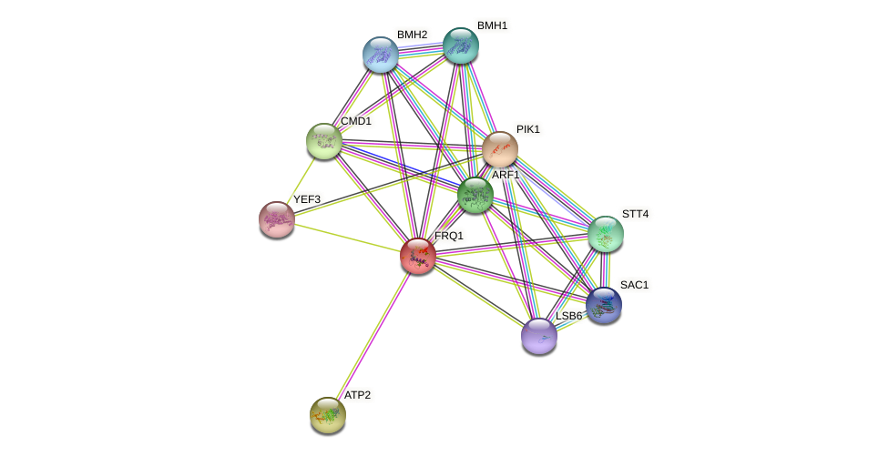 FRQ1 protein (Saccharomyces cerevisiae) - STRING interaction network