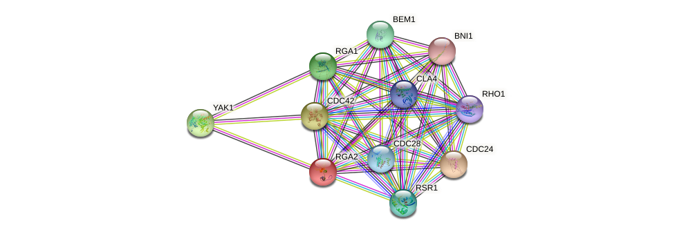RGA2 protein (Saccharomyces cerevisiae) - STRING interaction network