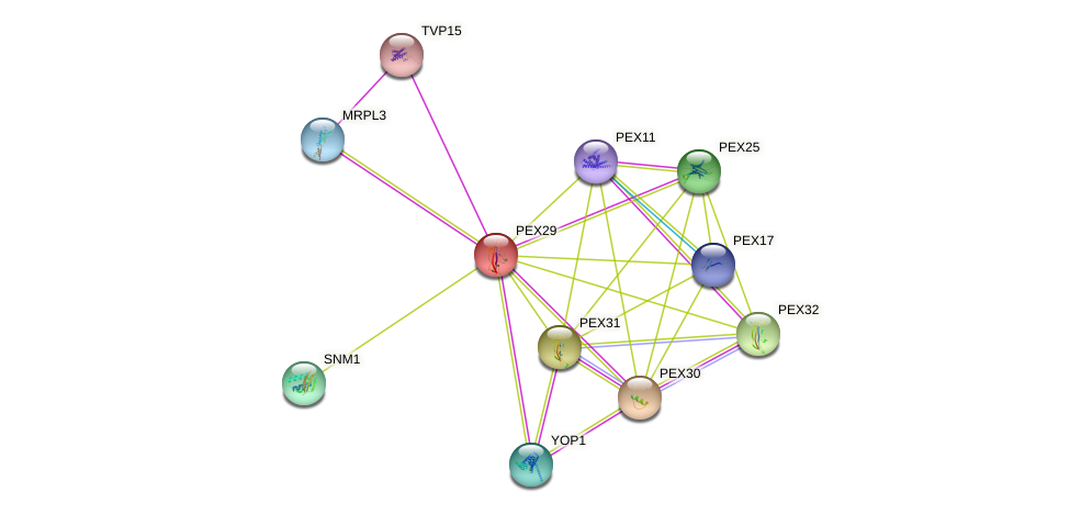 PEX29 protein (Saccharomyces cerevisiae) - STRING interaction network