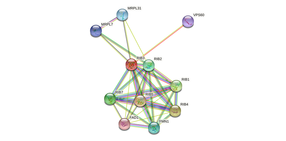 RIB3 protein (Saccharomyces cerevisiae) - STRING interaction network