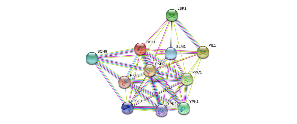 PKH1 protein (Saccharomyces cerevisiae) - STRING interaction network