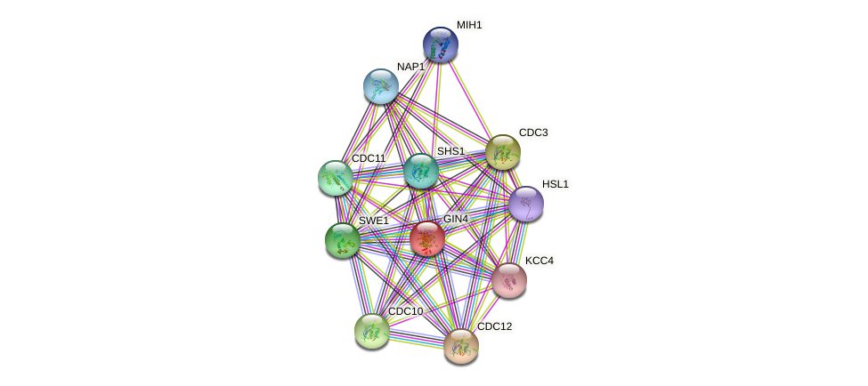 GIN4 protein (Saccharomyces cerevisiae) - STRING interaction network