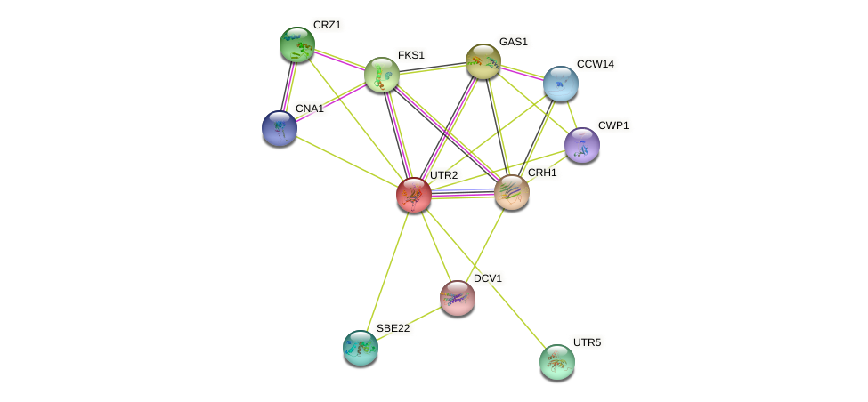 UTR2 protein (Saccharomyces cerevisiae) - STRING interaction