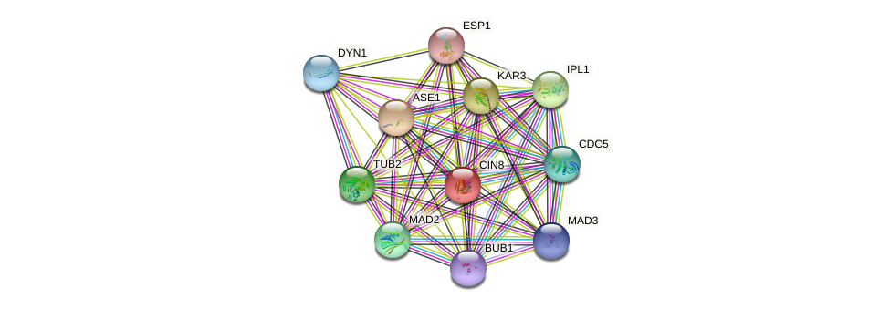 CIN8 protein (Saccharomyces cerevisiae) - STRING interaction network