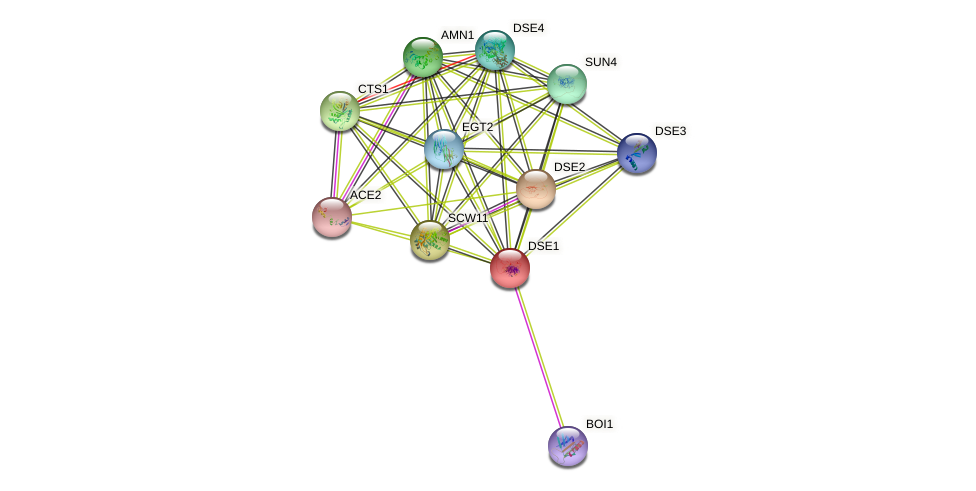 DSE1 protein (Saccharomyces cerevisiae) - STRING interaction network
