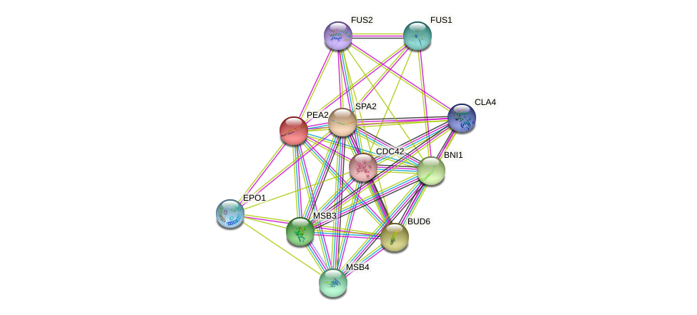 PEA2 protein (Saccharomyces cerevisiae) - STRING interaction network