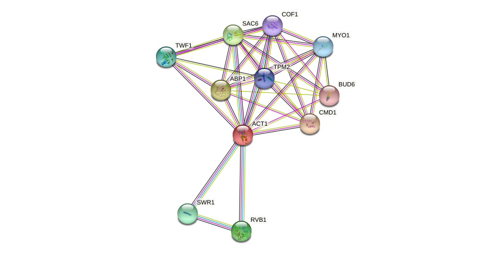 ACT1 protein (Saccharomyces cerevisiae) - STRING interaction network