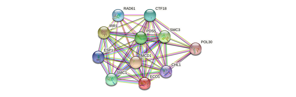 ECO1 protein (Saccharomyces cerevisiae) - STRING interaction network