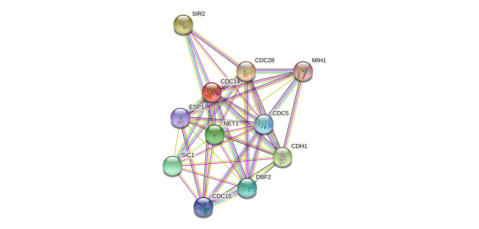 CDC14 protein (Saccharomyces cerevisiae) - STRING interaction network