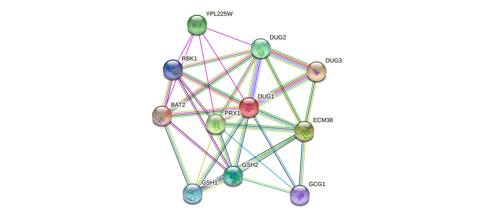 DUG1 protein (Saccharomyces cerevisiae) - STRING interaction network