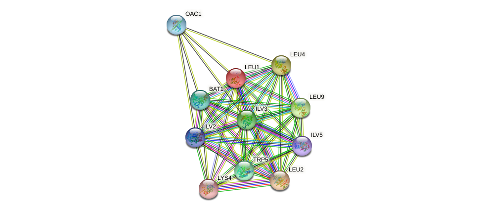 LEU1 protein (Saccharomyces cerevisiae) - STRING interaction network