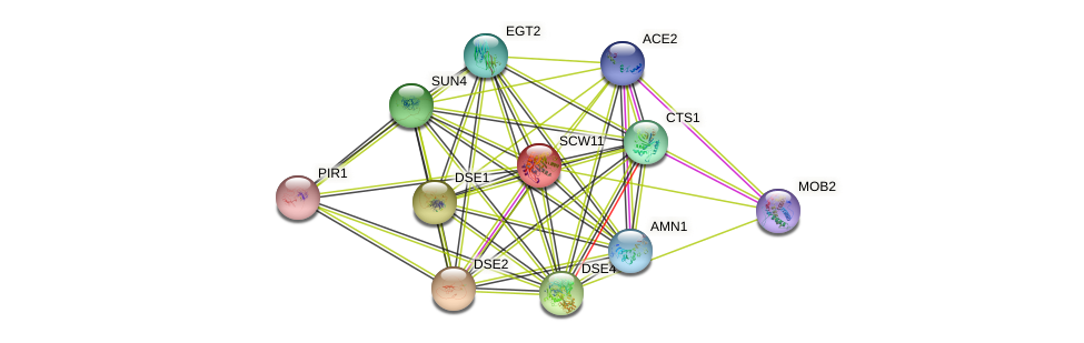 SCW11 protein (Saccharomyces cerevisiae) - STRING interaction network
