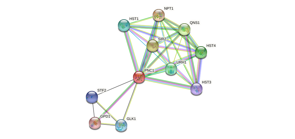 PNC1 protein (Saccharomyces cerevisiae) - STRING interaction network