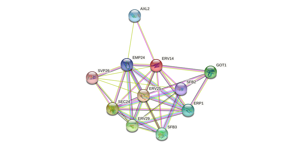 ERV14 protein (Saccharomyces cerevisiae) - STRING interaction network