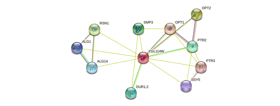 YGL114W protein (Saccharomyces cerevisiae) - STRING interaction network
