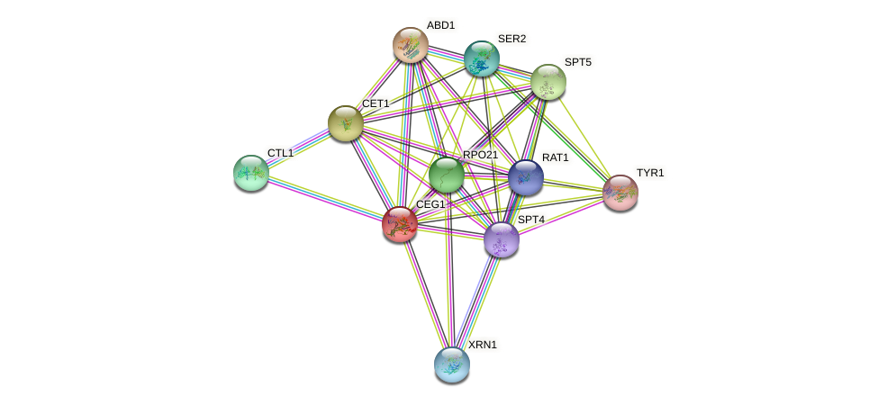 CEG1 protein (Saccharomyces cerevisiae) - STRING interaction network