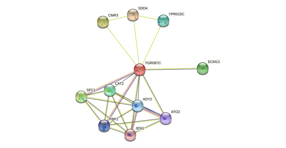 YGR067C protein (Saccharomyces cerevisiae) - STRING interaction network