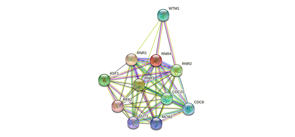 RNR4 protein (Saccharomyces cerevisiae) - STRING interaction network