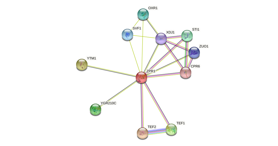 ZPR1 protein (Saccharomyces cerevisiae) - STRING interaction network