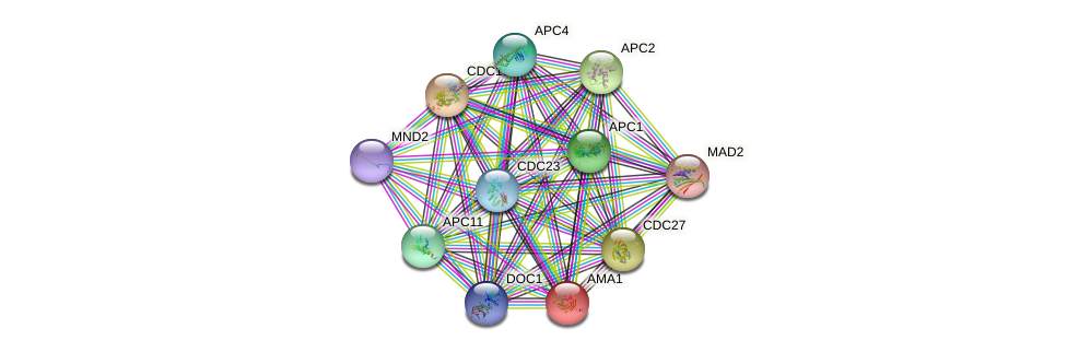 AMA1 protein (Saccharomyces cerevisiae) - STRING interaction network