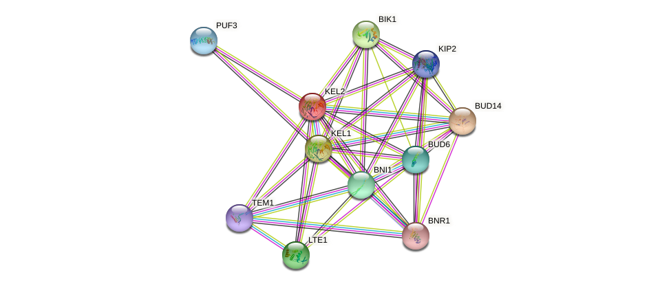 KEL2 protein (Saccharomyces cerevisiae) - STRING interaction network